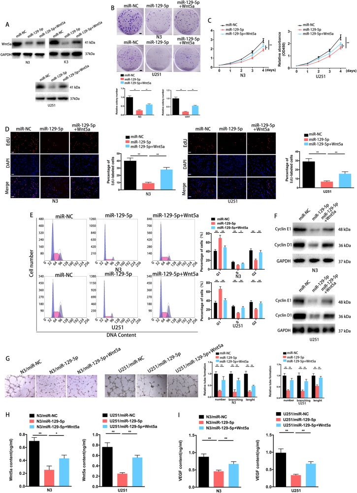miR-129-5p overexpression inhibits cell proliferation and angiogenesis in GBM by targeting Wnt5a . a N3/miR-129-5p, K3/miR-129-5p and U251/miR-129-5p cells were transfected with the Wnt5a-plasmid vector, followed by western blot analysis of Wnt5a transcripts (three replicates per group, three independent experiments per group). GAPDH served as the loading control. b Colony formation ability of the miR-NC- or miR-129-5p-transfected N3 or U251 cells without transfection or transfected with the pcDNA3.1-Wnt5a plasmid (Wnt5a) (six replicates per group, three independent experiments per group). Scale bar, 2.5 mm. c Overexpression of miR-129-5p arrested cell proliferation; however, this was rescued upon coexpression of exogenous Wnt5a in N3 and U251 cells (six replicates per group, three independent experiments per group). d EdU analysis of miR-NC, miR-129-5p or miR-129-5p plus Wnt5a-transfected N3 and U251 cells (six replicates per group, three independent experiments per group). Scale bar, 100 μm. e Cell-cycle assay of N3 and U251 GBM cells 3 days after transfection with miR-NC, miR-129-5p or miR-129-5p plus Wnt5a (six replicates per group, three independent experiments per group). f Western blot analysis indicated the regulation of the cell-cycle-regulatory proteins cyclin E1 and cyclin D1 in miR-NC, miR-129-5p or miR-129-5p mimic plus Wnt5a-transfected N3 or U251 cells. GAPDH was used as the loading control (three replicates per group, three independent experiments per group). g Representative images and quantification of HBMVECs cultured on Matrigel-coated 96-well plates using conditioned medium from the indicated cells (six replicates per group, three independent experiments per group). Scale bar, 200 μm. Data are expressed as the mean ± s.e.m. h – i Quantitative determination of Wnt5a and VEGF levels in supernatants from N3 or U251 cells with indicated treatment by ELISA. (six replicates per group, three independent experiments per group). Data are expressed as the