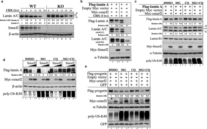 Smurf2 regulates the stability of lamin A and progerin through the lysosomal proteolysis. (a) Western blot analysis of lamin A/C levels and protein turnover in Smurf2 KO MEF s. CHX —cycloheximide. (b) Western blot analysis showing the effects of Smurf2 on the levels of Flag–lamin A and endogenous lamin A/C in CHX ‐treated and untreated HEK ‐293T cells. The decrease in lamin A/C in Smurf2 overexpressing cells was detected using two different antibodies for lamin A/C, recognizing these proteins at two distinct epitopes. (c) Western blot analysis showing that Smurf2‐mediated degradation of lamin A can be rescued by the inhibition of the lysosomal degradation pathway. HEK ‐293T cells were co‐transfected with Flag–lamin A and Myc‐Smurf2, or with an empty Myc vector. Twenty‐four hours later, cells were treated with either proteasome inhibitor MG 132 ( MG ; 2.5 μ m ), lysosomal inhibitor chloroquine ( CQ ; 20 μ m ), or with a combination of both for additional 4 hr. Cells were then lysed in RIPA buffer, and cell extracts analyzed in Western blot with the indicated antibodies. Inhibition of the proteasomal degradation pathway was verified with anti‐poly‐ubiquitin‐Lys48 (poly‐Ub‐K48) antibody. Note that Smurf2 predominantly affected the stability of lamin A. (d) Repetition of the experiments described in (c) with gradually increased concentrations of Myc‐Smurf2 (0; 2; 4 μg), and sample sonication. (e) Western blot analysis showing that Smurf2‐mediated degradation of progerin can be rescued by the inhibition of the lysosomal breakdown pathway