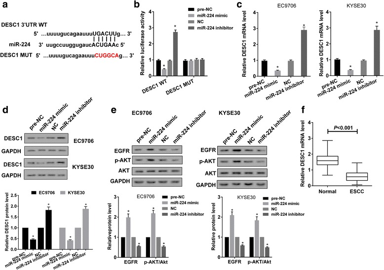 miR-224 targetedly regulated DESC1 expression. a Online bioinformatics software microrna.org predicted there was potential binding site between miR-224 and 3'UTR of DESC1. b Luciferase reporter gene vector containing DESC1 3'UTR WT or DESC1 3'UTR MUT, miR-224 mimic or pre-NC or miR-224 inhibitor or NC were co-transfected into HEK293T cells. Dual-luciferase reporter gene assay showed that miR-224 mimic or miR-224 inhibitor decreased or increased the activity of DESC1 WT, and did not significantly change the activity of DESC1 MUT. c-e EC9706 or KYSE30 cells were transfected with miR-224 mimic or miR-224 inhibitor or controls. qRT-PCR and Western blot showed that miR-224 mimic or miR-224 inhibitor significantly decreased or increased mRNA level ( c ) and protein level ( d ) of DESC1, and increased or decreased protein level of EGFR and p-AKT ( e ). f mRNA level of DESC1 was downregulated in ESCC tissues