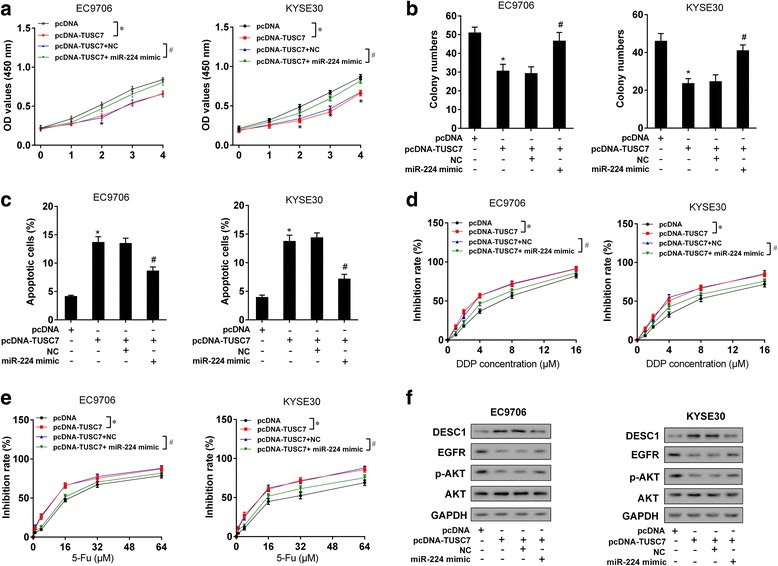 TUSC7 inhibited cell proliferation and chemotherapy resistance via miR-224/DESC1. EC9706 or KYSE30 cells were divided into four groups: pcDNA, pcDNA-TUSC7, pcDNA-TUSC7 + NC, and pcDNA-TUSC7 + miR-224 mimic groups. a MTT assay showed that miR-224 mimic reversed the inhibition effect of pcDNA-TUSC7 on cell proliferation. b Colony formation assay showed that miR-224 mimic reversed the inhibition effect of pcDNA-TUSC7 on colony formation. c Flow cytometry showed that miR-224 mimic reversed the promotion effect of pcDNA-TUSC7 on cell apoptosis. d After the treatment of cisplatin (0, 1, 2, 4, 8, 16 μM) for 48 h, miR-224 mimic reversed the inhibition effect of pcDNA-TUSC7 on chemotherapy resistance. e After the treatment of 5-Fu (0, 1, 4, 16, 32, 64 μM) for 48 h, miR-224 mimic reversed the inhibition effect of pcDNA-TUSC7 on chemotherapy resistance. f pcDNA-TUSC7 increased protein level of DESC1 and decreased the expression of EGFR and p-AKT, while miR-224 mimic reversed these effects