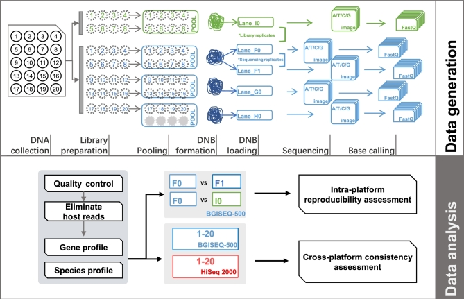 Schematic model summarizing the study design and analysis strategy. Schematic diagram depicting the process of data generation, including collection of fecal samples and extraction of DNA from 20 healthy subjects, library preparation, and sequencing strategy for BGISEQ-500 and HiSeq 2000. Each circle indicates 1 independent subject, with subject ID shown in the circle. For BGISEQ-500, each sample was sheared and tagged with a unique barcode to prepare libraries, then equal amounts of DNA fragments from 8 samples were pooled together for DNB formation, loading, and sequencing. In total, 20 samples were sequenced in 3 lanes (F0, G0, and H0). Of them, DNA from 8 subjects (S01-S08) was utilized to perform library construction and sequencing twice; the corresponding 8 paired datasets from lane I0 (green) and lane F0 (blue) were considered library replicates. DNBs from the same 8 subjects were loaded and sequenced twice to generate 8 paired sequencing replicates (lane F0 and lane F1). Twenty datasets from HiSeq 2000 were also generated in this study. The detailed assessment and comparison analyses of metagenomic datasets between intra- and inter-platforms are shown below.