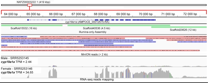 Mapping of MinION long reads, <t>Illumina-assembled</t> scaffolds, and <t>RNA-sequencing</t> reads of male and female A. ocellaris to the genomic region containing the cyp19a1a gene. Transcripts per million (TPM) values were calculated using Kallisto, version 0.43.1 [ 46 ].
