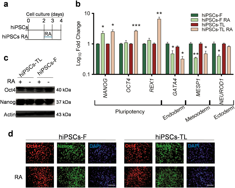 Effects of short-term retinoic acid treatment on pluripotency a hiPSCs were cultured in regular medium (mTeSR1) for 5 days before ready for passaging, while hiPSCs-RA were treated with RA for 24 h 2 days after splitting. b qRT-PCR analysis of pluripotency and differentiation markers in hiPSCs (-F and -TL) cultured in regular medium and in medium supplemented with 0.5 µM RA at day 4. All expression values are normalized to GAPDH and relative to untreated hiPSCs. Data are mean ± SEM from three independent experiments. A statistical comparison was made between hiPSCs-RA and hiPSCs by Student's t -test (* p