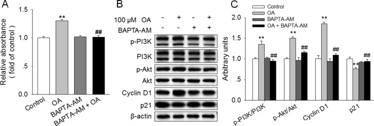 Chelation of [Ca 2+ ] i reversed the OA-induced activation of PI3K/Akt and promotion of HC11 proliferation ( A ) Effects of 100 μM OA and/or 2 μM BAPTA-AM on HC11 proliferation by using MTT analysis. ( B ) Western blot analysis of p-PI3K, PI3K, p-Akt, Akt, Cyclin D1, and p21 in HC11 after a 4-day culture in the presence of 100 μM OA and/or 2 μM BAPTA-AM. β-actin was used as the loading control. ( C ) Mean ± SEM of immunoblotting bands of p-PI3K/PI3K, p-Akt/Akt, Cyclin D1 and p21. The intensities of the bands were expressed as the arbitrary units. ** P
