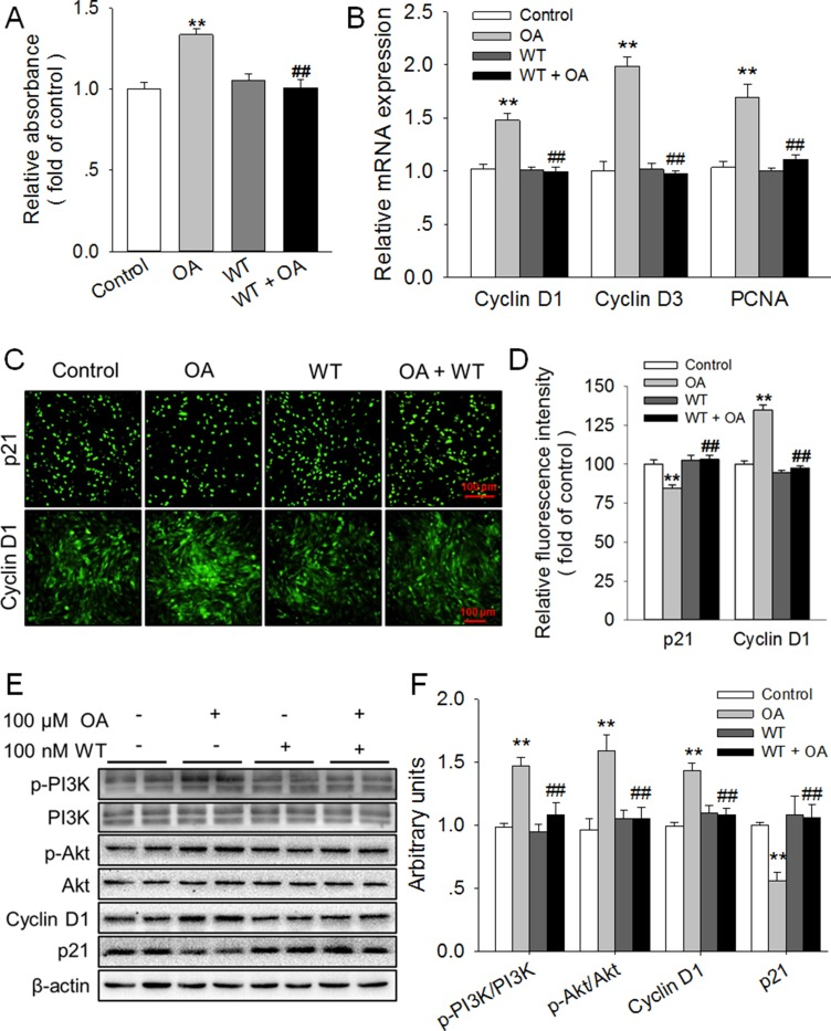 Inhibition of PI3K/Akt totally blocked the promotion of HC11 proliferation induced by OA ( A ) Effect of Wortmannin (WT), an inhibitor of PI3K, on the proliferation of HC11 after a 4-day incubation was determined by MTT assay. ( B ) The relative mRNA expression level of Cyclin D1, Cyclin D3, and PCNA in response to 100 μM OA and/or 100 nM WT. ( C ) Representative immunofluorescence staining of Cyclin D1 and p21 in the presence of 100 μM OA and/or 100 nM WT. Scale bar = 100 μm. ( D ) Analysis of the relative fluorescence intensity in panel ( C). (E ) Western blot analysis of p-PI3K, PI3K, p-Akt, Akt, Cyclin D1 and p21 in HC11 after a 4-day culture in the presence of 100 μM OA and/or 100 nM WT. β-actin was used as the loading control. ( F ) Mean ± SEM of immunoblotting bands of p-PI3K/PI3K, p-Akt/Akt, Cyclin D1, and p21, and the intensities of the bands were expressed as the arbitrary units. ** P