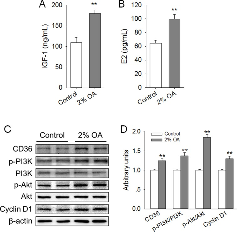Effects of peripubertal exposure to diet containing 2% OA on the serum level of IGF-1 and E2, expression of CD36 and Cyclin D1, and activation of PI3K/Akt in the right side of the mammary gland of mice ( A – B ) Effects of dietary 2% OA on the serum levels of IGF-1 (A) and E2 (B) ( n = 10). ( C ) Western blot analysis of CD36, p-PI3K, PI3K, p-Akt, Akt and cyclin D1 in the mammary gland of pubertal mice ( n = 6). β-actin was used as the loading control. ( D ) Mean ± SEM of immunoblotting bands of CD36, p-PI3K/PI3K, p-Akt/Akt and Cyclin D1, and the intensities of the bands were expressed as the arbitrary units. ** P