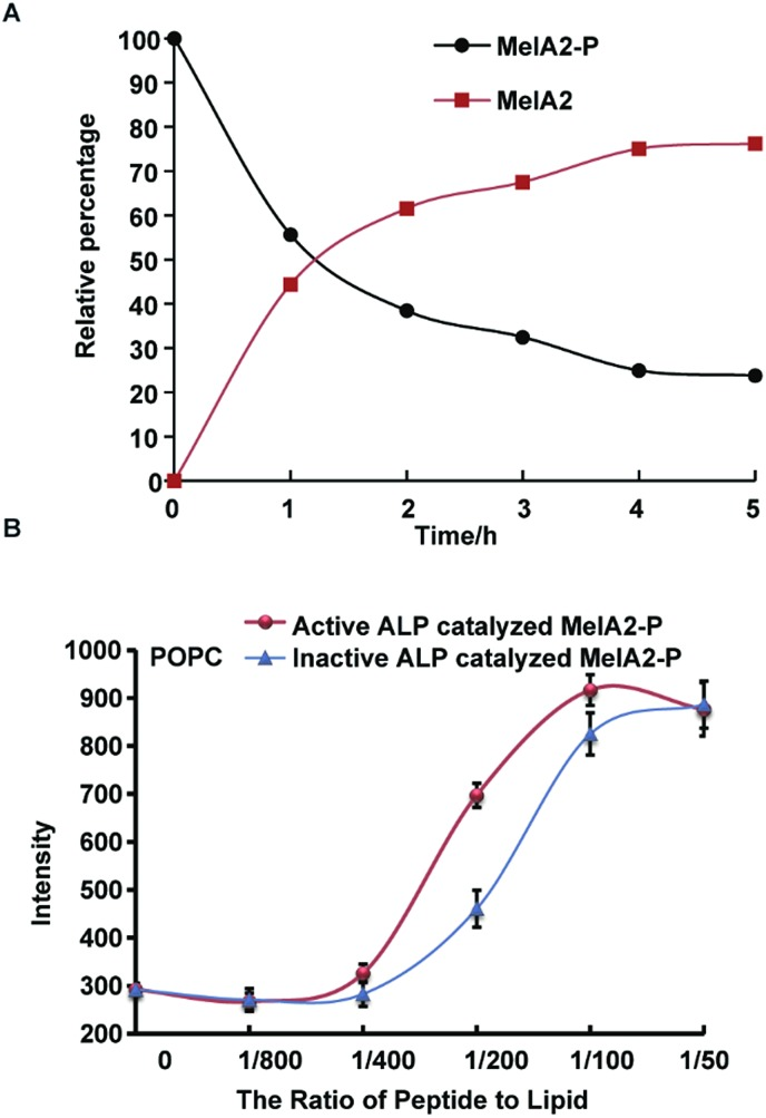 Dephosphorylation of <t>MelA2-P</t> by <t>ALP</t> increased the peptide membrane lysis potency. (A) HPLC-monitored ALP dephosphorylation of MelA2-P. The amount of MelA2-P and dephosphorylation-resulted MelA2 was monitored and traced by analytical RP-HPLC after ALP treatment for various times. The relative percentages of MelA2-P and MelA2 peptides were quantified by peak area integration and normalization. (B) Calcein leakage of the POPC vesicles after treatment with active ALP catalyzed MelA2-P and inactive ALP catalyzed MelA2-P. The inactive ALP was derived from the 100 °C heating of active ALP for 30 min and every sample had the same amount of ALP protein to avoid the influence of ALP on calcein leakage. The leakage intensity of 100 μM (lipid concentration) calcein-entrapped vesicles at a peptide-to-lipid ratio from 1/800 to 1/50 was measured for 20 min. The leakage amount reached a plateau before 20 min and the calcein fluorescence at the plateau was used as the final intensity, with n = 3.