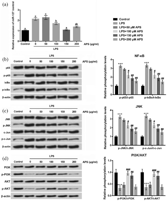 APS reduced LPS-induced inflammation injury by down-regulating miR-127 and inhibiting NF-κB and JNK and promoting PI3K/AKT signaling pathways in H9c2 cells. (a) H9c2 cells were treated with LPS or co-treated with APS and LPS, and then expression levels of miR-127 in H9c2 cells were measured by qRT-PCR. (b)–(d) Protein expression levels of p65/p-p65, lκBα/p-lκBα JNK/p-JNK, c-Jun/p-c-Jun, PI3K/p-PI3K, and AKT/p-AKT were detected by western blot. Different letters above the bars (a, b, c) indicate that the means of different groups were significantly different ( P