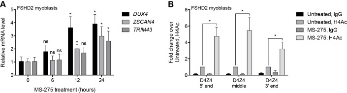 Pharmacological inhibition of HDAC1/HDAC2. ( A ) DUX4 and DUX4 target gene expression as determined by RT-qPCR in MB200 FSHD2 myoblasts treated with 2.5 µM MS-275 for the indicated times. Statistical significance was calculated by comparing the mRNA level at each time point to that at 0 hr using a two-tailed, two-sample Mann-Whitney U test. ( B ) ChIP-qPCR enrichment of histone H4 acetylation (H4Ac) along the D4Z4 repeat in MB200 FSHD2 myoblasts treated with 2.5 µM MS-275 for 24 hr. Statistical significance was calculated by comparing the H4Ac signal in untreated versus MS-275-treated cells at each site using a one-tailed, one-sample Wilcoxon signed-rank test. *, p≤0.05; ns, not significant, p > 0.05. Error bars denote the standard deviation from the mean of three (or six, for the 0 hr and 12 hr time points in ( A )) biological replicates. See also Figure 2—source data 1 .