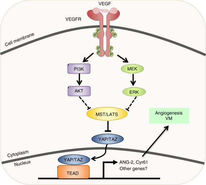 Model for VEGFR and Hippo signaling in angiogenesis/VM. When VEGF binds to its receptor, VEGFR, signaling through PI3K and MAPK is initiated. This leads to the inhibition of MST/LATS and subsequent activation of YAP/TAZ. YAP and TAZ induce ANG-2 and CYR61 expression, leading to enhanced angiogenesis and vasculogenic mimicry in endothelial and tumor cell lines, respectively