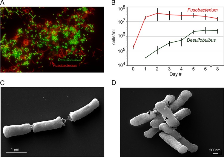 Desulfobulbus sp. strain HOT041 ( D. oralis ) in coculture with Fusobacterium nucleatum and in pure culture. (A) FISH using fluorescent oligonucleotide probes specific for Deltaproteobacteria (green) and universal Bacteria (red). (B). Growth of Desulfobulbus sp. strain HOT041 and F. nucleatum in coculture monitored by species-specific qPCR (with error bars based on three replicates). (C and D) Scanning electron micrographs of the D. oralis isolate. The arrowheads point to membrane vesicles.