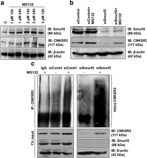 Depletion of Smurf2 accelerates degradation of CNKSR2. a Serum starved HEK293 cells were treated with <t>MG132</t> at the indicated doses and time intervals and expression of CNKSR2 was assessed using western blot indicating proteasome mediated degradation of CNKSR2. b Decline in CNKSR2 expression induced by Smurf2 siRNA was rescued by treating the cells for 4 h with 10 μM MG132 44 h post-transfection. c Depletion of Smurf2 results in enhanced polyubiquitination and proteasomal degradation of CNKSR2. CNKSR2 was immunoprecipitated from MDA-MB-231 cells transfected with Smurf2 siRNA and control siRNA. Cells were treated for 4 h with 10 μM MG132 44 h post-transfection. The corresponding lysates were denatured and immunoprecipitated (IP) with rabbit CNKSR2 antibody, followed by Western blotting (IB) of the immune complexes with a mouse anti-ubiquitin antibody. The input proteins in cell lysates were also probed by the indicated antibodies