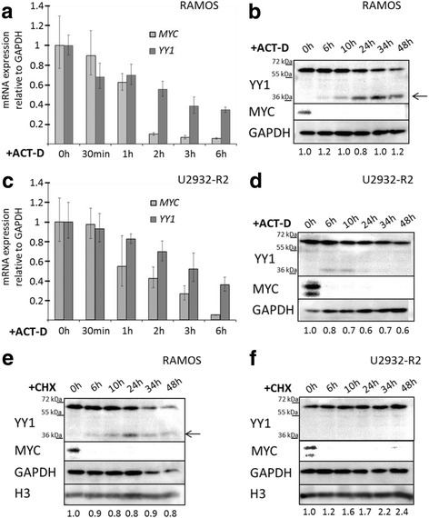 Cellular stability of YY1 mRNA and protein. Influence of the transcriptional inhibitor actinomycin-D (ACT-D, 5 μg/mL) ( a - d ) and of the translational inhibitor cycloheximide (CHX, 100 μg/mL) ( e , f ) on YY1 expression in the B-NHL cell lines RAMOS ( a , b and e ) and U2932-R2 ( c , d and f ). a YY1 mRNA quantification relative to GAPDH by qRT-PCR after 0 h, 30 min, 1 h, 2 h, 3 h and 6 h of ACT-D treatment of RAMOS and ( c ) of U2932-R2. Error bars indicate 95% confidence interval of the mean expression. MYC levels were analyzed as a positive control for a fast turnover mRNA. b Western blot analysis of YY1 protein after 0 h, 6 h, 10 h, 24 h, 34 h and 48 h of ACT-D treatment in RAMOS and ( d ) in U2932-R2. MYC was used as a positive control for a fast turnover protein and GAPDH as loading control. The arrow indicates the caspase-cleaved YY1 form. e Western blot analysis of YY1 protein after 0 h, 6 h, 10 h, 24 h, 34 h and 48 h CHX treatment of RAMOS and ( f ) of U2932-R2. MYC expression was determined as a positive control for a fast turnover protein and GAPDH and histone 3 (H3) served as loading controls. The arrow indicates the caspase-cleaved YY1 form. Numbers underneath the blots refer to the relative amount of YY1 normalized to GAPDH levels according to densitometric analyses of the blots. The 0 h sample was set to 1 at each time point, treatment and cell line