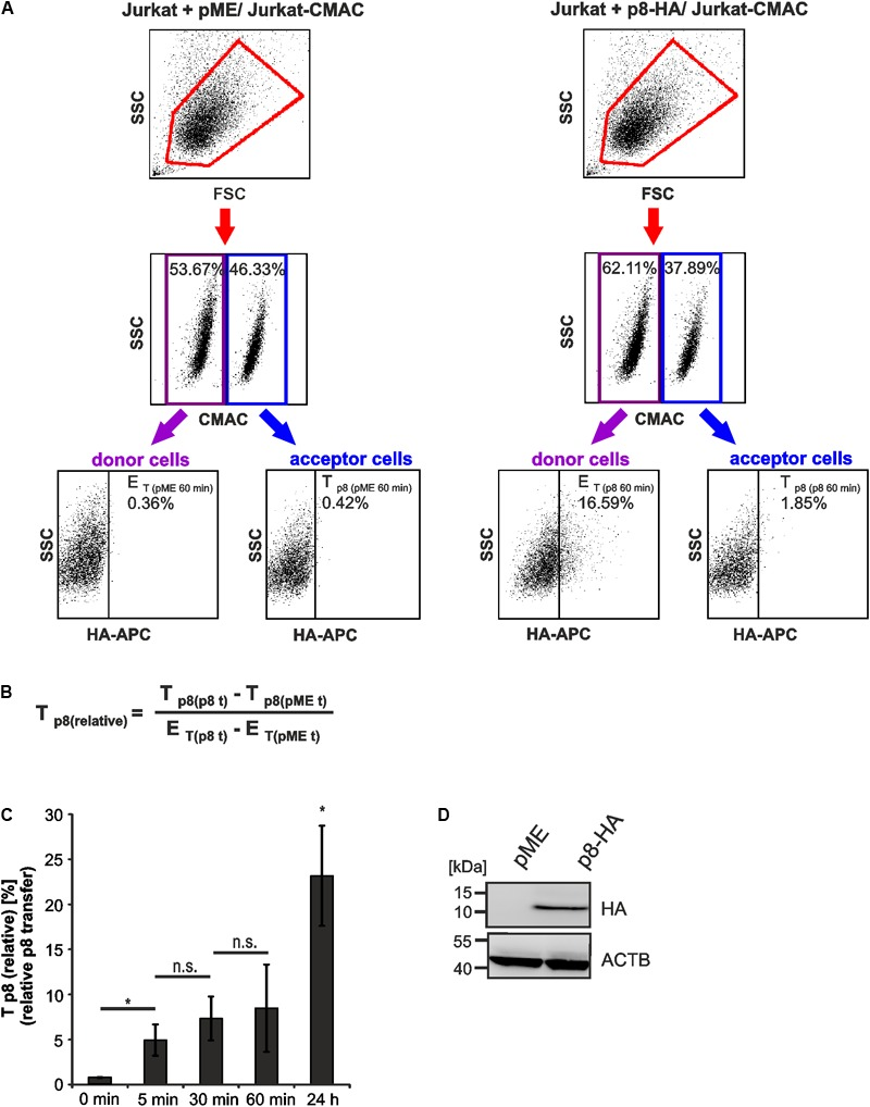 Detection of rapid p8 transfer between <t>Jurkat</t> T-cells by flow cytometry. Jurkat donor T-cells were transfected with p8-HA or the control plasmid pME and co-cultured with prestained acceptor T-cells Jurkat-CMAC according to the experimental setup displayed in Figure 2 . (A) Flow cytometry. At 48 h post transfection, equal amounts of donor and acceptor cells (1 ∗ 10 6 cells each) were either directly fixed in 2% PFA and mixed (time point: 0 min), or they were co-cultured at <t>37°C</t> for 5, 30, 60 min, or 24 h before fixation. After intracellular staining using HA-specific, APC-labeled antibodies or the respective isotype-matched control antibodies, flow cytometry was performed. Representative dot plots at 60 min post co-culture are shown. First line: Dot plots display the forward scatter (FSC) plotted against the side scatter (SSC) and living cells are gated (red gate). Second line: CMAC-specific fluorescence is plotted against the SSC, which allows discrimination between CMAC-negative donor (purple gate) and CMAC-positive acceptor (blue gate) cells. Third line: HA-specific fluorescence is plotted against the SSC and numbers represent the efficiency of transfection ( E T ) within the CMAC-negative donor cells (displayed on the left) or the transfer of p8 ( T p8 ) within the CMAC-positive acceptor cells (displayed on the right). (B) Equation to calculate the relative transfer of p8 [ T p8(relative) ] between cells. T p8 shows the transfer of p8, which corresponds to the percentage of p8-HA positive cells within CMAC-positive acceptor cells (T p8(p8 t ) ) at a given time point t and which was normalized on background fluorescence of the respective control cells transfected with pME (T p8(pME t ) ). E T represents the efficiency of transfection at a given time point t and corresponds to the percentage of p8-HA positive cells within CMAC-negative donor cells (E T(p8 t ) ), which is corrected by background fluorescence of the respective control cells transfected 