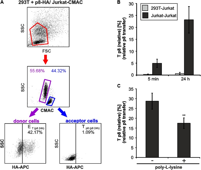 Cell type-dependence of an efficient p8 transfer. (A,B) 293T were transfected with p8-HA expression plasmids or the control plasmid pME for 48h. Transfected p8-donor or control (pME) cells were co-cultured with equal amounts of Jurkat acceptor cells (3 ∗ 10 6 ) that had been prestained with Cell Tracker Blue CMAC Dye. At 5 min or at 24 h post co-culture at 37°C, cells were fixed in 2% PFA, permeabilized, stained and analyzed by flow cytometry. (A) Representative dot plots of 293T cells transfected with p8-HA expression plasmids after co-culture with Jurkat-CMAC acceptor cells for 24 h are shown. First line: Dot plots display the forward scatter (FSC) plotted against the side scatter (SSC) and living cells are gated (red gate). Second line: CMAC-specific fluorescence is plotted against the SSC, which allows discrimination between CMAC-negative 293T donor (purple gate) and CMAC-positive Jurkat acceptor (blue gate) cells. Third line: HA-specific fluorescence is plotted against the SSC and numbers represent the efficiency of transfection (E T ) within the CMAC-negative 293T donor cells (displayed on the left) or the transfer of p8 ( T p8 ) within the CMAC-positive Jurkat acceptor cells (displayed on the right). (B) Time course analysis of T p8(relative) as measured by flow cytometry in co-cultures of 293T and Jurkat T-cells. The means of 4 independent experiments ±SE are shown and were compared as indicated using a t -test. For comparison, T p8(relative) between co-cultured Jurkat T-cells as shown in Figure 3C is displayed. (C) Jurkat donor T-cells were transfected with p8-HA or the control plasmid pME. At 48 h post transfection, 1 ∗ 10 6 donor cells were either fixed on poly- L -lysine coated culture plates for 1 h or they were left untreated. Thereafter, Jurkat donor T-cells were co-cultured with equal amounts of prestained acceptor T-cells Jurkat-CMAC at 37°C for 24 h and T p8(relative) was analyzed by flow cytometry. The means of 3 independent experiments ±SE are sh