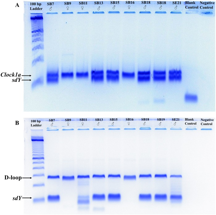 Negative images of electrophoresis gels showing the (A) Clock1a / sdY (B) D-loop/ sdY assay results for nine of the analyzed archaeological salmonid samples. The approximate location of the IPC and sdY amplicons are indicated by the labelled arrows. The 100 bp ladder used to estimate the size of the amplicons is from Invitrogen (Waltham, MA, USA). Note: For SB11, the D-loop/ sdY assay (B) produced two weak nonspecific bands only slightly smaller than the predicted size of the sdY amplicon, suggesting they might represent sdY . However, the Clock1a / sdY assay (A) only yielded a fragment of Clock1a , confirming the nonspecific bands likely do not represent sdY , verifying SB11's female identity.