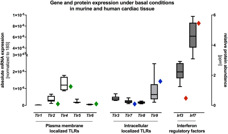 Gene and protein expression of plasma membrane and intracellular localized TLRs and of the IFN regulatory factors <t>IRF3</t> and <t>IRF7</t> in murine and human cardiac tissue under basal conditions. Cardiac tissue of healthy C57BL/6J wildtype mice was used for TaqMan based gene expression analysis of various TLRs and their IFN regulatory factors Irf3 and Irf7 under basal conditions. Gene expressions of Tlr4 , Tlr9 , Irf3 and Irf7 were highly expressed when compared to the remaining TLRs under basal conditions in murine cardiac tissue. The highest gene expression under basal condition was detected for Irf7 . In addition, we detected similar human protein expression patterns when compared with murine gene expression in cardiac tissue under basal conditions. Data are presented in box plots as absolute mRNA expression normalized to the house keeping gene Cdkn1b and human protein abundance are presented as rhombus sign on the right-hand of each mRNA expression.