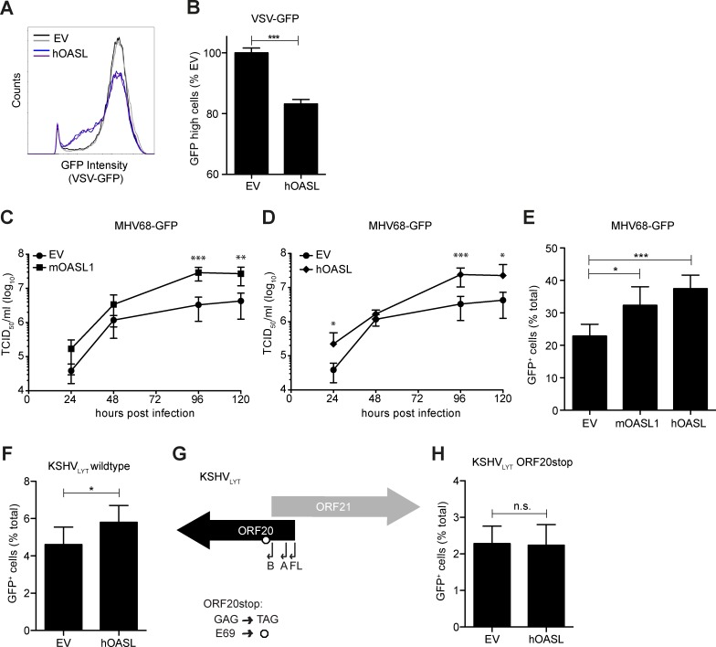 OASL expression is beneficial for MHV68 and KSHV replication. (A-F, H) 293T OASL -/- cells were reconstituted with empty vector (EV), mOASL1, or hOASL as indicated. (A-B) 24 h later, cells were infected with VSV-GFP for 16 h. The GFP intensity in fixed cells was determined by flow cytometry. (A) Histograms of the VSV-GFP signal for duplicates from one representative experiment are shown. (B) The number of highly-GFP positive cells was determined and scaled to EV. Means + SD of duplicates from two independent experiments are shown. (C-D) 24 h post transfection, cells were infected with MHV68-GFP at an MOI of 0.05 for 2 h at 37°C. Supernatant was harvested at the indicated times and the viral titer was determined by TCID 50 on M2-10B4 cells. Means ± SD of triplicates from two independent experiments are shown. (E, F, H) 24 h post transfection, cells were infected with (E) MHV68-GFP, (F) KSHV LYT wildtype, or (H) KSHV LYT ORF20stop. 20–24 h later, cells were detached, fixed, and the number of GFP-positive cells was determined by flow cytometry. Means + SD of 4–6 replicates total from two independent experiments are shown. (G) In KSHV LYT ORF20stop, the ORF20 GAG codon for E69 is replaced with the stop codon TAG. For all subfigures: ns, not significant, * P