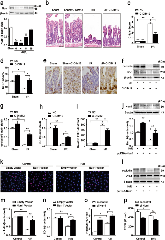 Nurr1 regulates intestinal restoration after I/R injury. a Mice were subjected to 45 min of intestinal ischemia followed by 0–16 h of reperfusion or sham surgery. I, ischemia; R, reperfusion; representative western blot showing nurr1 protein expression in the intestinal tissue lysates ( n = 3 per group, ** P