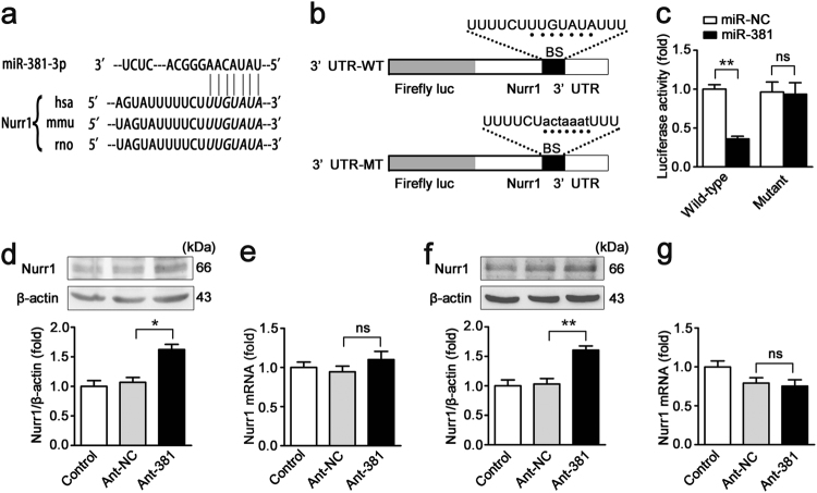 miR-381-3p negatively regulates nurr1 expression. a The miR-381-3p target sequence in the nurr1 3ʹ-UTR is conserved across various species. b The WT nurr1 3ʹ-UTR and the MT nurr1 3ʹ-UTR in the luciferase constructs. BS, binding site. c Caco-2 cells were infected with miR-381 or miR-NC and WT nurr1 3ʹ-UTR or MT nurr1 3ʹ-UTR, n = 3. d-g Caco-2 or IEC-6 cells were transfected with the ant-381 or the ant-NC. d Representative western blot showing nurr1 protein expression in Caco-2 cells, n = 3. e qRT-PCR showing nurr1 mRNA expression in Caco-2 cells, n = 6. f Representative western blot showing nurr1 protein expression in IEC-6 cells, n = 3. g qRT-PCR showing nurr1 mRNA expression in IEC-6 cells, n = 6. * P
