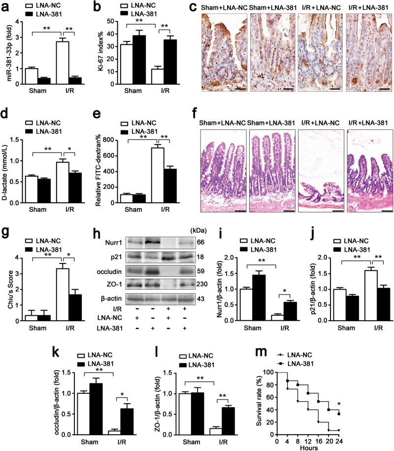 miR-381-3p inhibition improves intestinal barrier restoration after I/R injury in mice. The mice were divided into the following four groups: a sham + LNA-NC group, a sham + LNA-381 group, an I/R + LNA-NC group, an I/R + LNA-381 group ( n = 8 per group). LNA-381 or LNA-NC (2 mg/kg) was administered by caudal vein injection at 12 h before surgery. The I/R times were 45/240 min, respectively. a qRT-PCR showing miR-381-3p expression, n = 8. b and c Immunohistochemical staining for the Ki-67 antibody in intestinal tissues for proliferation analysis. Scale bar = 50 μm, n = 6. d Serum d -lactate levels, n = 8. e FITC-dextran intestinal epithelial paracellular permeability, n = 8. f and g Representative images of H E-stained intestinal sections of mice from the above four groups. Intestinal injury was scored histopathologically (Chiu's score) according to a scoring system. Scale bar = 100 μm, n = 8. h-l Representative western blot showing nurr1, p21, occludin or ZO-1 protein expression in intestinal tissue, n = 3. m The survival rate of the mice, n = 15. * P