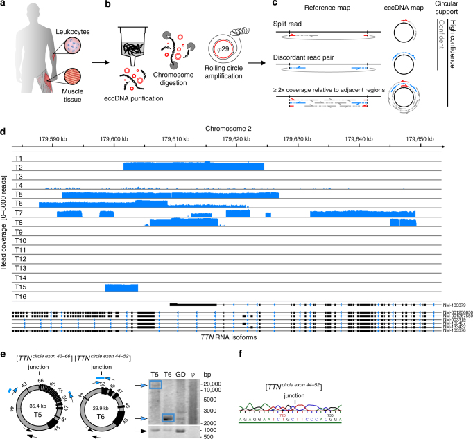 Circle-Seq method for mapping of eccDNA. a Leukocyte and muscle samples from 16 healthy subjects (T1–T16, n = 16). b Purification of eccDNA through column separation, exonuclease treatment, and rolling-circle amplification. c Detection of eccDNA based on structural-read variants and coverage (soft-clipped, split, red; concordant, gray; and discordant reads, blue). d Read coverage display (log-scale) at the titin gene, TTN , from muscle samples. e EccDNA from T5 and T6 illustrated (black boxes, exons), outward PCR validation (blue arrows), inward PCR (black arrows), and gel-image of T5 and T6 PCR products next to controls: GD, human genomic DNA; φ , phi29-amplified eccDNA sample without detected [ TTN circle ]. f Sequence of [ TTN circle exon 44-52 ] T6 PCR product at junction