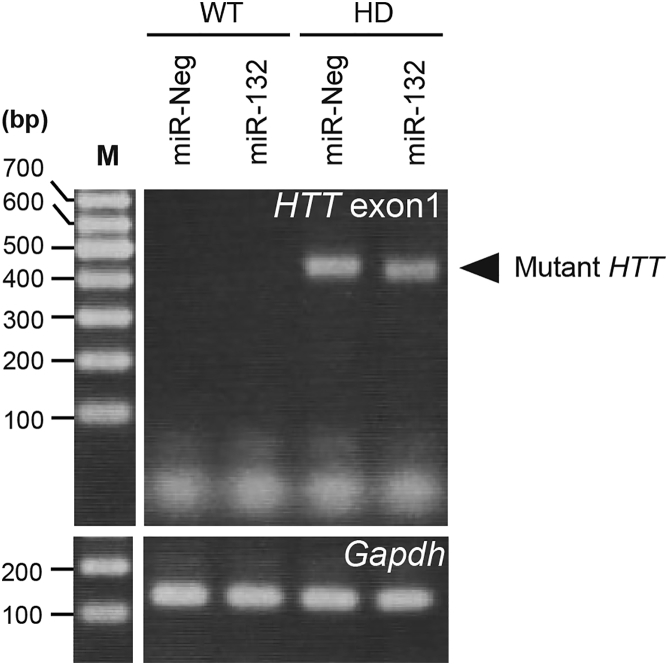Mutant HTT Expression Total RNAs used in Figure 4 B were examined by RT-semiquantitative PCR to see mutant HTT expression. PCR products were analyzed by agarose gel electrophoresis followed by ethidium bromide staining. Gapdh was also examined as an internal control.