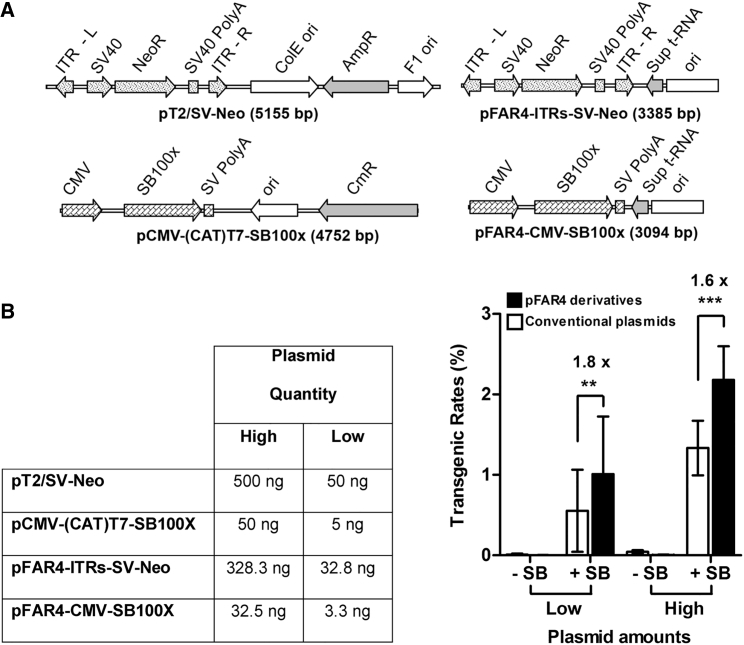"""Delivery of the Sleeping Beauty Transposon System by the pFAR4 Vector Mediates a Higher Number of Neomycin-Resistant Clones HeLa cells were co-transfected with either pT2/SV-Neo and pCMV-(CAT)T7-SB100X (ratio transposon plasmid:transposase plasmid = 500:50 ng or 50:5 ng) or an equimolar amount of pFAR4-ITRs-SV-Neo and pFAR4-CMV-SB100X (ratio transposon plasmid:transposase plasmid = 328.3:32.5 ng or 32.8:3.3 ng). The total DNA amount was adjusted to 550 ng using pFAR4 empty vector. (A) Both vectors contain identical eukaryotic expression cassettes but alternative plasmid backbones, differing by their size and the selection markers used for their propagation in E. coli . (B) Transgenic rates are the mean number of NeoR colonies after 11 days of growth in selection medium per number of cells seeded ± SD. Data are the average of three independent transfection experiments with replicated cell seedings (n = 23) for the """"high"""" plasmid amount and four independent transfection experiments for the """"low"""" plasmid amount (n = 40). +SB and −SB indicate the presence or absence of the transposase plasmid, respectively. **p"""