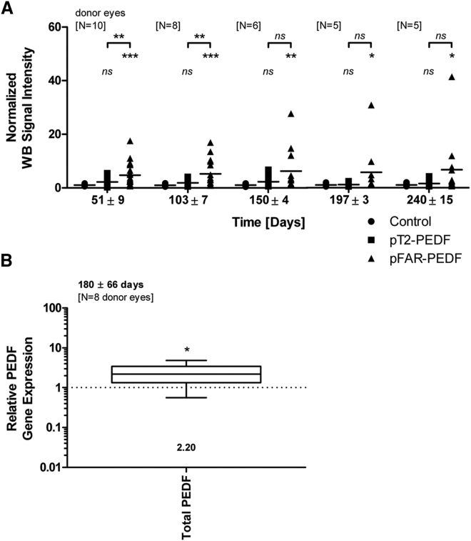 Analysis of Long-Term PEDF Expression and Secretion by Primary Human RPE Cells Transfected with SB100X Encoded by pFAR4 and PEDF Carried by Either the pFAR4 or pT2 Plasmid (A) At the times indicated in the graph, PEDF secretion was analyzed by western blots of culture media of 1 × 10 4 RPE cells isolated from human donor eyes (numbers as indicated; the number of samples tested is listed in Table S1 ) transfected with equimolar concentrations of pT2-PEDF or pFAR4-PEDF (7.50 × 10 10 plasmid copies) combined with 30 ng of SB100X encoded by the pFAR4 plasmid. The total plasmid amount (500 ng) was adjusted using pFAR4 empty vector. Signal intensities obtained with pT2-PEDF-transfected and pFAR4-PEDF-transfected cells were normalized to the signal intensities obtained with cells electroporated without plasmid DNA. Data are presented as mean ± SD. Statistical analyses were performed to compare level of PEDF secreted by cells transfected with plasmids to that of cells electroporated without plasmid and PEDF values obtained with pFAR4-PEDF-transfected cells versus those of pT2-PEDF cells using one-way ANOVA with Tukey's multiple comparisons test. *p ≤ 0.05, **p ≤ 0.01, ***p ≤ 0.001. See also Table S1 . (B) Relative PEDF gene expression was analyzed by qPCR in 1 × 10 4 RPE cells isolated from 8 human donor eyes (age, 66.3 ± 16.0 years; gender, 5 males and 3 females; time postmortem, 31.1 ± 21.8 hr; cultivation time before transfection, 39.9 ± 23.4 days) and cultured for 180 ± 66 days after transfection with equimolar concentrations of pT2-PEDF and pFAR4-PEDF (as described in A). Data for total (endogenous + recombinant) PEDF gene expression are presented as a box and whisker plot (whiskers, minimum to maximum). PEDF gene expression in pFAR4-PEDF-transfected cells was related to that obtained with pT2-PEDF-transfected cells, which was set to 1 (dashed line). In cells transfected with pFAR4-PEDF, the total PEDF gene expression level was 2.2-fold higher than in cells transfected