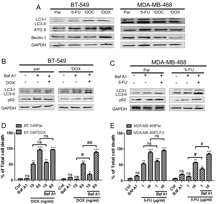 Induction of prosurvival autophagy in chemoresistant cells and pharmacological inhibition of autophagy augments the sensitivity of chemoresistant breast cancer cells (A) Basal level of autophagy was increased in chemoresistant cells as LC3-II, ATG5 and Beclin-1 proteins expression were increased in chemoresistant cells compared to their respective parental cells in western blot analysis. (B) Autophagic flux was determined by the accumulation of LC3-II and p62 after combined treatment of DOX (10 ng/ml) for 72 h and autophagic flux inhibitor Baf A1 (25 nM) for 4 h in both the BT-549Par and BT-549 r DOX 20 cells and (C) similarly in MDA-MB-468Par and MDA-MB-468 r 5-FU 2000 cell lines after combined treatment of 5-FU (1 μg/ml) for 72 h and Baf A1 (25 nM) for 4 h. GAPDH was used as loading control. (D) Breast cancer cell lines BT-549Par and BT-549 r DOX 20 were treated with 10 ng/ml and 80 ng/ml of DOX for 72 h with or without Baf A1 (25 nM for 4 h), (E) similarly MDA-MB-468Par and MDA-MB-468 r 5-FU 2000 cell lines were treated with 1 μg/ml and 18 μg/ml of 5-FU for 72 h with or without Baf A1 (25 nM for 4 h). Total cell death was quantified by Annexin V/PI double staining followed by flow cytometry. Columns represent means of three independent experiments performed in triplicate ± SEM. Statistical significance: * p