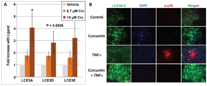 ( A ) Regulation of LCE3A, LCE3D , and LCE3E mRNA by curcumin (Crc). HEKn cells were treated with ETOH vehicle (negative control) or curcumin (at 6.7 or 10 μM concentration). Bar graphs show real-time PCR results, which are the average of four independent experiments ± STDEV. An asterisk denotes ligand-treated averages that are significantly different from ethanol controls as determined by two-tailed Student's t -test, * p