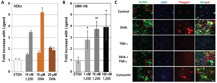 Regulation of NURR1 ( NR4A2 ) mRNA by 1,25D. ( A ) Response of NURR1 mRNA to 1,25D and DHA in HEKn cells. Cells were plated as described in Methods and dosed with the indicated concentrations of 1,25D or DHA for 22–24 h. Total RNA and first strand cDNA were then prepared, and real-time qPCR was performed using primers to human NURR1 as described in Methods. Error bars represent STDEV of triplicate real-time PCR wells from each of two independent experiments. ( B ) A similar experiment to ( A ), but performed using increasing doses of 1,25D in rat UMR-106 cultures. Results are means of three independent experiments ± STDEV, * p