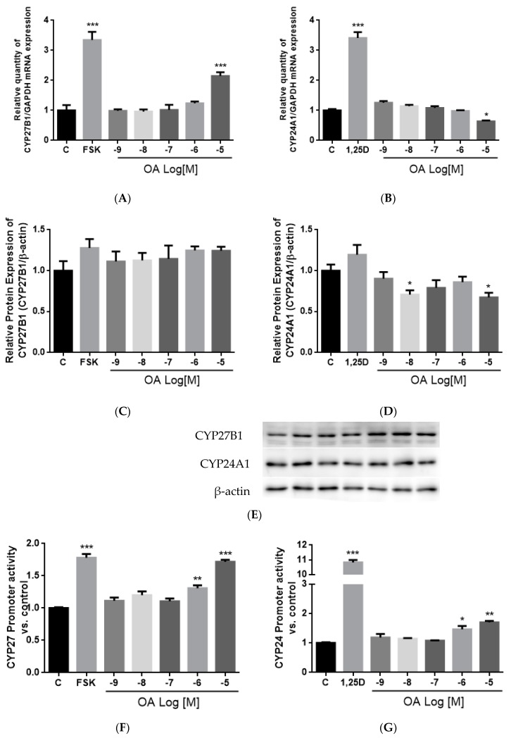 Effects of OA on CYP27B1 and CYP24A1 mRNA, protein expressions, and promoter activities in HKC-8 cells. The expression levels of ( A ) CYP27B1 mRNA; ( B ) CYP24A1 mRNA; ( C ) CYP27B1 protein; ( D ) CYP24A1 protein as well as the promoter activities of ( E ) CYP27B1 and ( F ) CYP24A1 in HKC-8 cells were studied. HKC-8 cells were treated with vehicle (0.1% ethanol), 10 −7 M PTH (1–34, human), 10 −5 M Foskolin or 10 −8 M 1,25(OH) 2 D 3 , and 10 −9 M–10 −5 M OA for 24 h. Cells were harvested by Trizol reagent at indicated time for RT-PCR and real-time PCR analysis ( A , B ). Relative gene expression was normalized by GAPDH. Total protein was extracted by lysis buffer and separated by SDS-PAGE and immunoblotted with anti-CYP27B1 ( C , E ), anti-CYP24A1 ( D , E ) antibody and normalized with β-actin expression. Promoter activities ( F , G ) were measured by dual luciferase assay and data were normalized against a thymidine kinase (TK) reporter construct. Results are presented as mean ± SEM ( n = 3) and analyzed by one-way ANOVA followed by Tukey's multiple comparison test. * p