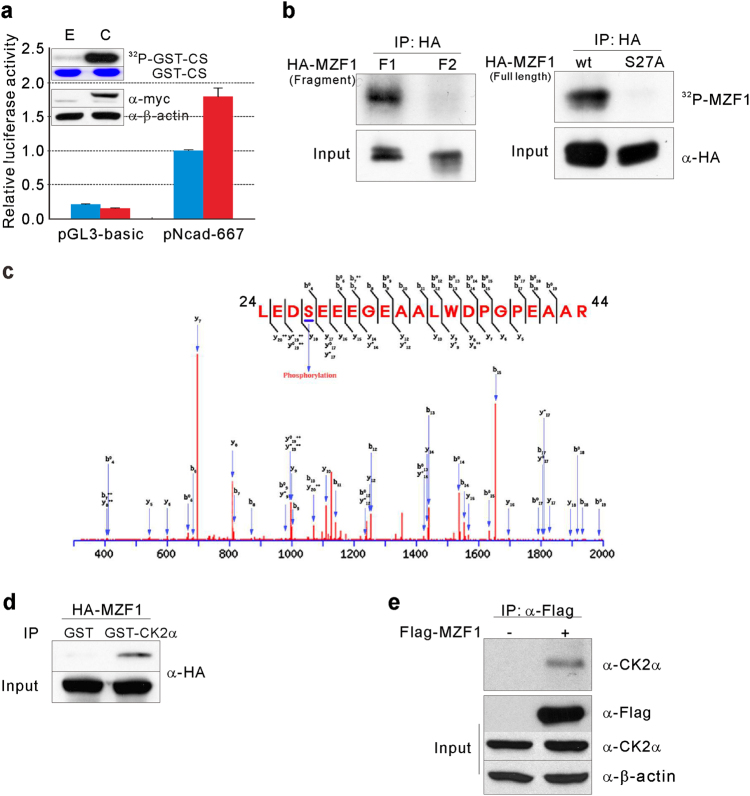 MZF1 is phosphorylated by protein kinase CK2. a Effects of increased CK2 activity on N-cadherin promoter activity. Promoter activities of pGL3-basic or pNcad-667 were measured in HEK293 cells expressing either pCMV-myc (E) or pCMV-myc-CK2α (C). Results of western blot analysis for the exogenous expression of myc-CK2α and in vitro kinase assays for intracellular CK2 activity are shown in the inset. GST-CS represents input GST-CS stained with Coomassie brilliant blue. 32 P-GST-CS represents phosphorylated GST-CS. Normalized luciferase activities are shown as mean ± SD for triplicate samples and are shown as fold-increase or fold-decrease relative to the activity from cells cotransfected with pNcad-667 and pCMV-myc. b CK2 phosphorylates MZF1 at serine 27. HEK293 cells were transfected with HA-MZF1 F1 (amino acid residues 1 to 240 of MZF1) or F2 (amino acid residues 120–360 of MZF1) (left) or with full-length MZF1 wt or MZF1 S27A (right). Exogenously expressed MZF1 variants were immunoprecipitated and used as substrates for in vitro kinase assays. 32 P-MZF1 represents HA-tagged MZF1 phosphorylated by CK2. c Identification of serine 27 as a CK2 phosphorylation site in MZF1 using mass spectrometry. Fragmentation spectrum (with b and y ions indicated) of a peptide spanning from amino acid 24 to 44 showing a phosphorylated serine at position 27 in MZF1. d Interaction between MZF1 and GST-tagged CK2α in vitro. Protein lysates isolated from HA-tagged MZF1-overexpressing HEK293 cells were mixed with human recombinant CK2 (GST-CK2α). Immunoprecipitation with a GST-specific Ab was followed by western blot analysis using anti-HA Ab. e Interaction between exogenous MZF1 and endogenous CK2α. HEK293 cells were transfected with Flag-MZF1, and lysates were immunoprecipitated with anti-Flag Ab (α-Flag) followed by western blot analysis using anti-CK2α Ab. Results of western blot analysis of total cell lysates are labeled as 'Input'
