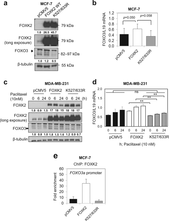 Overexpression of a SUMO-mutant form of FOXK2 partially impairs FOXK2-mediated FOXO3 regulation. MCF-7 cells were transfected with the empty vector (pCMV5), wild-type FOXK2 and SUMO-mutant FOXK2 vector (K527/633 R) and collected for analysis of FOXO3 expression by western blot ( a ) and qRT-PCR ( b ). Following transfection with the empty vector (pCMV5) wild-type FOXK2 and SUMO-mutant FOXK2 vector (K527/633 R), MDA-MB-231 cells were treated with 10 nM paclitaxel for the indicated times and subjected to western blot analysis, where FOXO3 levels were determined by Western blot ( c ) and qRT-PCR ( d ). For 4a and 4c, the relative expression levels of FOXK2 and FOXO3 were determined based on the expression levels of the target gene product versus the reference, Tubulin, and the values shown under the respective western blot bands. The intensities of the unsaturated western blot bands were determined using the ImageJ software. Bars represent average ± s.d. of three independent experiments. Statistical significance was determined by Student's t -test (* p ≤ 0.05; ** p ≤ 0.01; *** p ≤ 0.001, significant; ns = not significant). e MCF-7 transfected with the empty vector (pCMV5), wild-type FOXK2 and SUMO-mutant FOXK2 vector (K527/633 R) were harvested for chromatin immunoprecipitation assays using the IgG as negative control and anti-FOXK2 antibody. After reversal of cross-linking, the coimmunoprecipitated DNA was amplified by qRT-PCR, using primers amplifying the FOXK2 binding-site containing region in the FOXO3 promoter