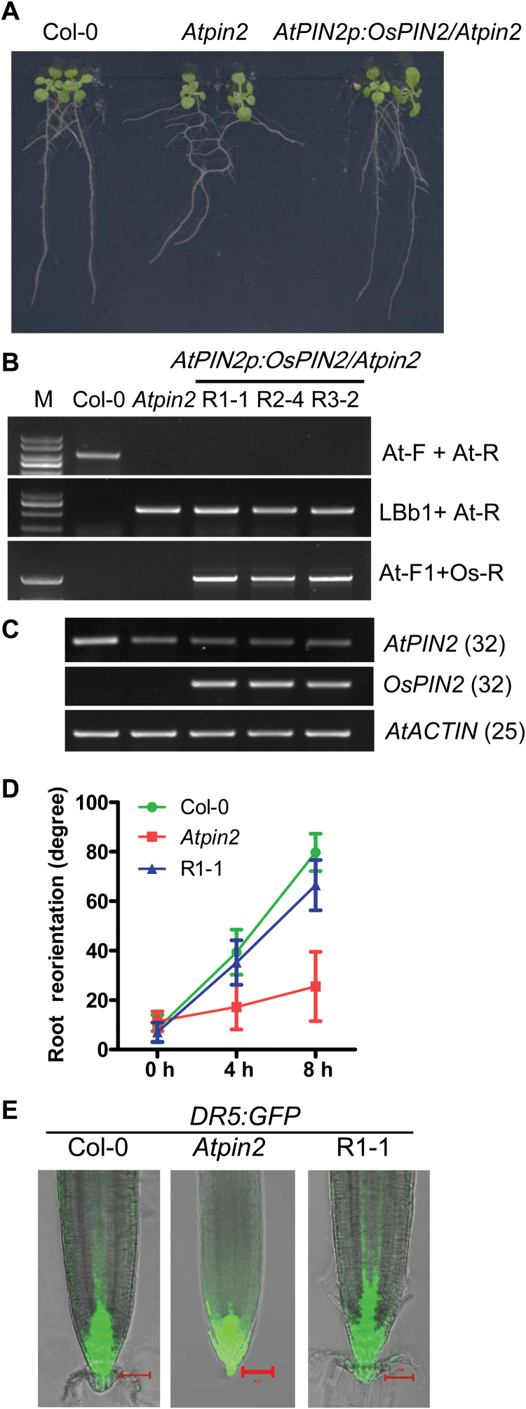 Expression of OsPIN2 rescues the phenotype of the Arabidopsis pin2 mutant. (A) The phenotypes of 10-d-old Col-0, Atpin2 , and Atpin2p:OsPIN2/Atpin2 transgenic lines. (B) Molecular characterization of Col-0, Atpin2 , and three independent Atpin2p:OsPIN2/Atpin2 transgenic lines using PCR. Primers are listed in Supplementary Table S1 . (C) Expression levels of AtPIN2 and OsPIN2 in the transgenic lines using RT-PCR. (D) Kinetics of root reorientation of Col-0, Atpin2 , and Atpin2p:OsPIN2/Atpin2 transgenic lines (R1-1): 4-day-old seedlings were placed horizontally and the root angle was measured at time points as indicated. Data are means ±SD ( n =20). (E) Fluorescence of DR5:GFP in Col-0, Atpin2 , and Atpin2p:OsPIN2/Atpin2 line R1-1; scale bars =50 μm.