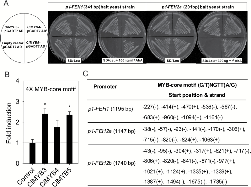Chicory MYB transcription factors CiMYB3 and CiMYB5 interact with the conserved MYB-core motif (C/T)NGTT(A/G) that is overrepresented in 1-FEH promoters. (A) For the yeast-one-hybrid assay, a fragment of 341 bp (−387 to −727 bp upstream of ATG) of the 1-FEH1 promoter and a fragment of 201 bp (−1 to −207 bp upstream of ATG) of the 1-FEH2a promoter were respectively cloned as bait sequences. The concentrations of aureobasidin A (AbA) used to eliminate the background of p1-FEH1 and p1-FEH2a bait strains were 100 and 300 ng ml −1 , respectively. Yeast cells transformed with CiMYB-pGADT7 plasmid, but not pGADT7 empty vector, were able to grow on leucine-deficient synthetic dropout medium (SD/−Leu) supplemented with AbA antibiotics. (B) One synthetic DNA fragment harboring four copies of the MYB-core motif taken from the 1-FEH1 promoter was sufficient to activate luciferase expression via CiMYB3 and CiMYB5; for further details see Fig. 2 . The results were confirmed in two independent experiments. Asterisks represent significant difference as determined by Student's t -test (* P