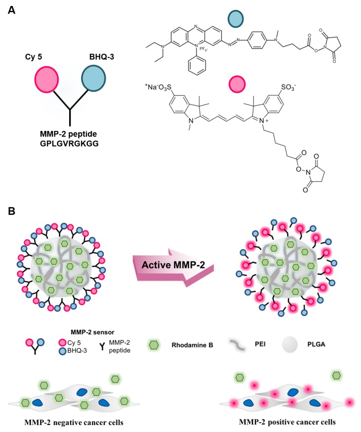Schematic illustration of the matrix metalloproteinase-2 (MMP-2)-activated peptide sensor and MMP-2-activated poly(lactic-co-glycolic acid) with polyethylenimine (MMP-2-PLGA-PEI) nanoparticles. ( A ) Chemical structure of the MMP-2-activated peptide sensor. The sensor consisted of a near-infrared fluorescence dye (Cy5), MMP-2 substrate peptide, and a dark quencher (BHQ-3); ( B ) Schematic diagram of the MMP-2-PLGA-PEI nanoparticles. The fluorescence signal was recovered only in the presence of MMP-2-positive cancer cells.