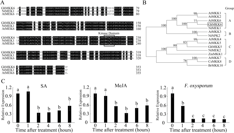 Characterization and sequence analysis of GhMKK6 . (A) Multiple amino acid sequence alignment of GhMKK6, AtMEK6, and NtMEK1. The conserved kinase domain S/TXXXXXS/T is indicated by the box. (B) Dendrogram analysis. The numbers above the branches indicate bootstrap values ( > 50%) from 1000 replicates. A, B, C, and D indicate MAPKK groups. (C) qRT-PCR analysis of GhMKK6 expression under SA, MeJA, or F. oxysporum treatment. Data are means ± SE of three independent experiments ( n =6). Different letters indicate significant differences ( P