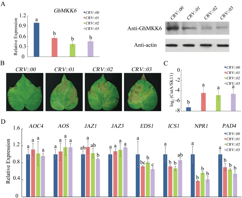 GhMKK6 -silencing in cotton reduces resistance to F. oxysporum . (A) GhMKK6 RNA relative expression and protein levels in GhMKK6 -silenced cotton. (B) Representative phenotypes of GhMKK6 -silenced plants 5 d after being infected with F. oxysporum . (C) Pathogen disease index in GhMKK6 -silenced plants 5 d after F. oxysporum infection. (D) qRT-PCR analysis for expression of SA- and JA-mediated defence pathway genes in CRV::00 , CRV::01 , CRV::02 , and CRV::03 at 5 d after infection with F. oxysporum . CRV::00 served as the empty vector control. Data in (A, C, D) are means ± SE of three independent experiments; (A, D) n =15, (C) n =6. Different letters indicate significant differences ( P