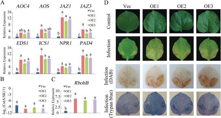 Phenotypes of GhMKK6 -overexpressing plants infected with F. oxysporum . (A) qRT-PCR analysis of expression of SA- and JA-mediated defence pathway genes in GhMKK6 -overexpressing plants at 3 d after F. oxysporum infection. (B) Pathogen disease index in GhMKK6 -overexpressing plants at 3 d after F. oxysporum infection. (C) qRT-PCR analysis of RbohB expression in GhMKK6 -overexpressing plants at 3 d after F. oxysporum infection. Data in (A–C) are means ± SE of three independent experiments ( n =6). Different letters indicate significant differences ( P