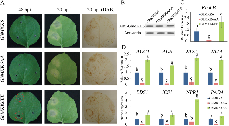 Excessive GhMKK6 activation leads to lesion-mimicking phenotypes. (A) Representative phenotypes of plants transiently expressing GhMKK6 , GhMKK6AA , and GhMKK6EE at 48 and 120 h post-infiltration (hpi). DAB staining was used to show ROS accumulation. (B) GhMKK6 protein levels in plants transiently expressing GhMKK6 , GhMKK6AA , and GhMKK6EE at 5 d post-infiltration. (C, D) qRT-PCR analysis of expression of (C) rbohB and (D) SA- and JA-mediated defence pathway genes in plants transiently expressing GhMKK6 , GhMKK6AA , and GhMKK6EE at 5 d post-infiltration. Data are means ± SE of three independent experiments ( n =6). Different letters indicate significant differences ( P
