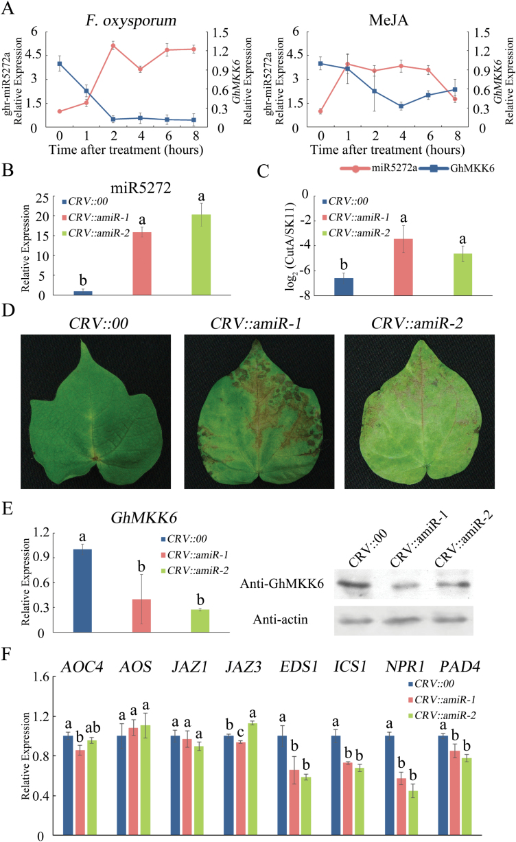 ghr-miR5272a overexpression sensitizes cotton to F. oxysporum . (A) ghr-miR5272a expression patterns in cotton under MeJA and F. oxysporum treatments. (B) miR5272 expression levels in cotton transfected with pCLCrVA-amiR5272. (C) Pathogen disease index in amiR5272-overexpressing plants at 5 d after F. oxysporum infection. (D) Representative phenotypes of amiR5272-overexpressing plants infected with F. oxysporum (5 d after infection). (E) GhMKK6 mRNA relative expression and protein levels in cotton transfected with pCLCrVA-amiR5272. (F) qRT-PCR analysis of expression of SA- and JA-mediated defence pathway genes in amiR5272-overexpressing plants at 5 d after F. oxysporum infection. CRV::00 served as the empty vector control. Data in (A–C, E, F) are means ± SE of three independent experiments ( n =6). Different letters indicate significant differences ( P