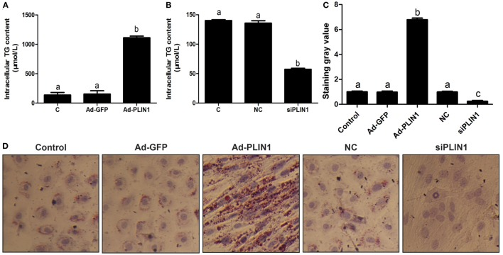 Perilipin 1 (PLIN1) influenced the TAG content in cow adipocytes. Adipocytes were transfected with PLIN1 overexpression adenovirus (Ad-PLIN1), GFP adenovirus (Ad-GFP, a negative control group compared with Ad-PLIN1), small interfering RNA of PLIN1 (siPLIN1), and negative control siRNA. Nine replicate samples were used for each condition ( N = 9). (A) Intracellular TG content in overexpression treatment. (B) Intracellular TG content in silencing treatment. (C) The Oil red O staining value. (D) Oil red O staining results (20×). Abbreviations: C, control group; Ad-GFP, GFP adenovirus; Ad-PLIN1, PLIN1 overexpression adenovirus; NC, negative control of siPLIN1; siPLIN1, small interfering RNA of PLIN1. The data presented are the mean ± SEM. (A–C) The same letter indicates no significant difference ( p > 0.05), whereas different letters indicate a significant difference ( p