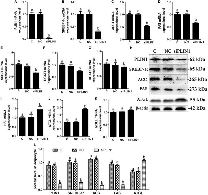 Perilipin-1 (PLIN1) silencing inhibited fatty acids and TG synthesis and increased the TG lipolysis in cow adipocytes. Adipocytes were transfected with siPLIN1 and NC. Nine replicate samples were used for each condition ( N = 9). (A–G) The mRNA expression levels of PLIN1 (A) , SREBP-1c (B) , ACC1 (C) , SCD1 (D) , FAS (E) , DGAT1 (F) , and DGAT2 (G) in adipocytes. (H) Western blot analysis of PLIN1, SREBP-1c, ACC1, SCD1, and FAS. (I–H) : the mRNA expression levels of hormone-sensitive lipase (I) , CGI-58 for adipose triglyceride lipase (ATGL) (J) , and MGLL (K) in adipocytes. (L) The protein expression levels of PLIN1, SREBP-1c, ACC1, FAS, and ATGL. (C) Control group. NC, negative control siRNA; siPLIN1, small interfering RNA of PLIN1. The data presented are the mean ± SEM. (A,B) The same letter indicates no significant difference ( p > 0.05), whereas different letters indicate a significant difference ( p