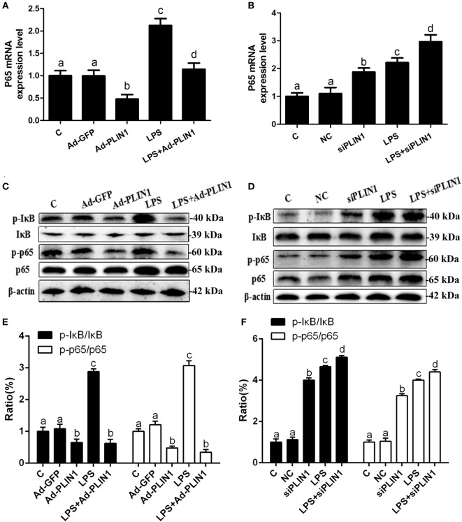 The effect of perilipin-1 (PLIN1) on NF-κB signaling pathway in dairy cow adipocytes. Adipocytes were transfected with Ad-PLIN1, Ad-GFP, siPLIN1, and NC with or without LPS. Nine replicate samples were used for each condition ( N = 9). (A,B) The mRNA expression levels of NF-κB p65. (C,D) Western blot analysis of key molecules of the NF-κB signaling pathway in dairy cow adipocytes. (E,F) The phosphorylation levels of IκB (p-IκB/IκB) and NF-κB p65 (p-p65/p65). (C) Control group. Abbreviations: Ad-GFP, GFP adenovirus; Ad-PLIN1, PLIN1 overexpression adenovirus; LPS, lipopolysaccharide; NC, negative control siRNA; siPLIN1, small interfering RNA of PLIN1. The data presented are the mean ± SEM. (A–D) The same letter indicates no significant difference ( p > 0.05), whereas different letters indicate a significant difference ( p