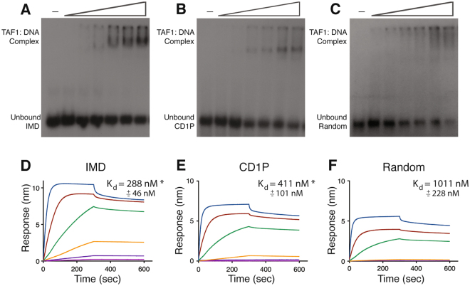 TAF1 zinc knuckle binds DNA. ( A,B,C ) EMSA of TAF1 ZnA (aa 1234–1375) and three radiolabeled DNA fragments: IMD of super core promoter (position −6 to +38), cyclin D1 promoter (position −22 to +29, CD1P), and Random DNA sequence. ( D,E,F ) Bio-layer interferometry binding curves using biotinylated double-stranded DNA fragments described in above and the following ZnA protein concentrations: 3 μM, 1 μM, 333 nM, 111 nM, 37 nM, 12 nM. Raw data was plotted with GraphPAD Prism. K d was calculated from plotting steady-state binding levels against protein concentration.
