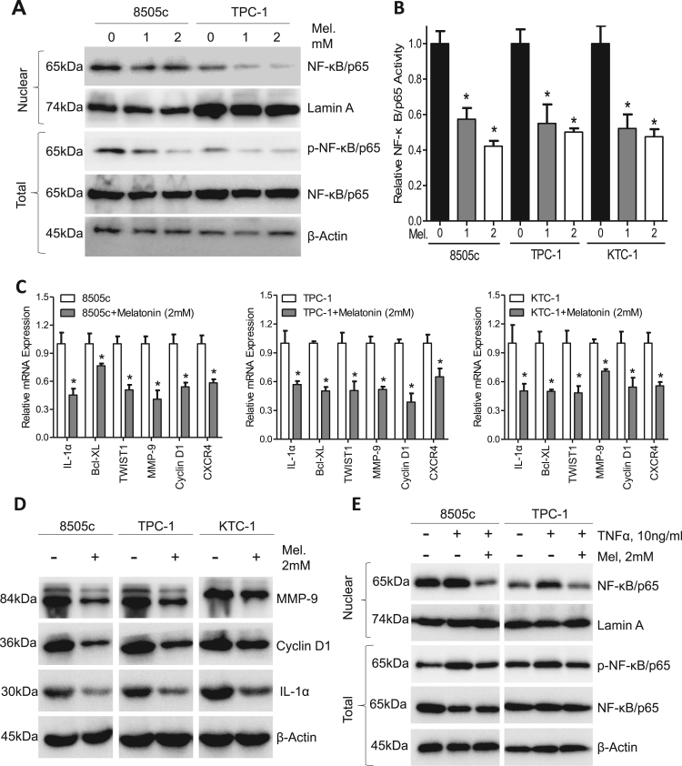 Melatonin inhibits p65 phosphorylation and nuclear translocation in thyroid carcinoma. (A) Western blot analysis of nuclear NF-κB/p65 and p-NF-κB/p65 in 8505c and TPC-1 cells treated with melatonin for 24 h. (B) ELISA analysis of NF-κB/p65 activity in 8505c, TPC-1 and KTC-1 cells after treatment with melatonin for 24 h. (C) Expression of NF-κB/p65 response genes in 8505c, TPC-1 and KTC-1 cells was detected by qPCR assays. (D) Immunoblotting of <t>IL-1α,</t> Cyclin D1 and MMP9 in 8505c, TPC-1 and KTC-1 cells after treatment with melatonin (2 mM) for 24 h. β-Actin was used as a loading control. (E) Immunoblotting of NF-κB/p65 and p-NF-κB/p65 in 8505c and TPC-1 cells treated with or without TNFα (10 ng/mL) and melatonin (2 mM) for 24 h. β-Actin was used as a loading control. * P
