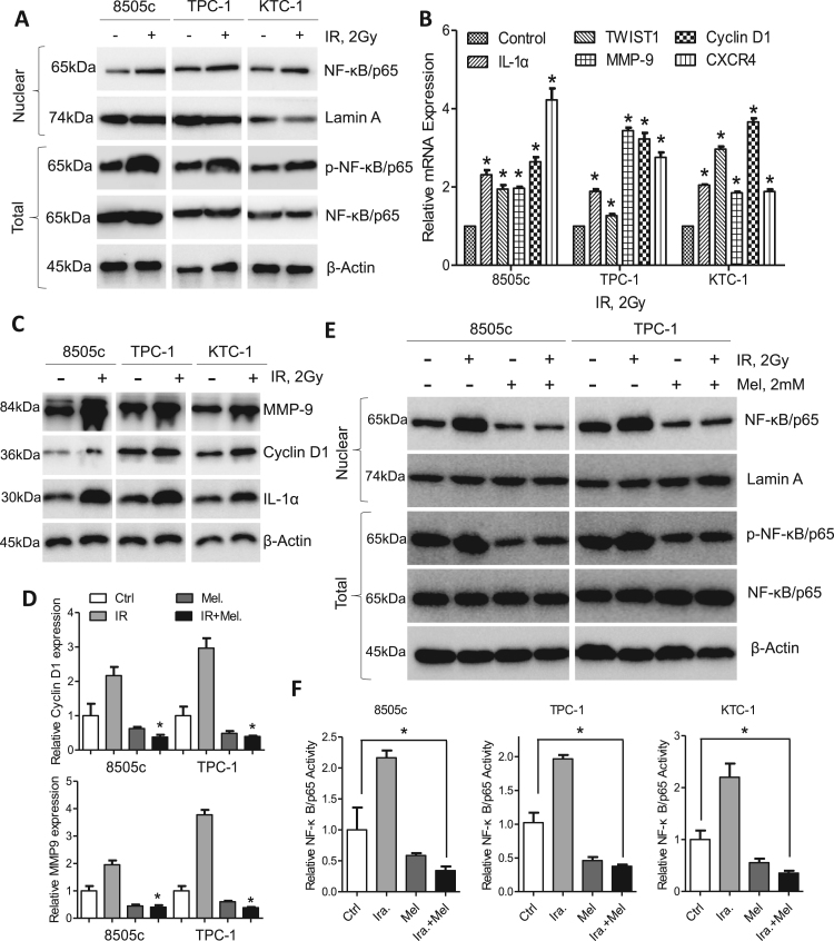 Irradiation activates NF-κB/p65 phosphorylation. (A) Western blot analysis of nuclear NF-κB/p65 and p-NF-κB/p65 in 8505c, TPC-1 and KTC-1 cells after irradiation. (B) Expression of NF-κB/p65 response genes in 8505c, TPC-1 and KTC-1 cells after irradiation was detected by qPCR assays. (C) Immunoblotting of IL-1α, Cyclin D1 and MMP9 in 8505c, TPC-1 and KTC-1 cells after irradiation. β-Actin was used as a loading control. (D) qPCR analysis of Cyclin D1 and MMP9 in 8505c and TPC-1 cells after treatment with melatonin, irradiation or both. (E) Western blot analysis of nuclear NF-κB/p65 and p-NF-κB/p65 in 8505c and TPC-1 cells after treated with melatonin, irradiation or both. (F) ELISA analysis of NF-κB/p65 activity in 8505c, TPC-1 and KTC-1 cells after treated with melatonin, irradiation or both. *P