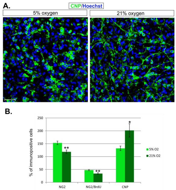 The influence of distinct oxygen conditions on oligodendrocyte proliferation and differentiation. ( A ) The CNP-positive oligodendrocytes ( green ) visible in hippocampal slices after 7 DIV; The cell nuclei were labelled with Hoechst 33258 ( blue ); ( B ) The diagram shows the total number of OPCs, dividing progenitors, and differentiating oligodendrocytes in hippocampal slices cultured in distinct oxygen concentrations. The scale bar is equivalent to 20 µm. The calculated differences were regarded as statistically significant if *  p